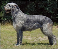 The Irish Wolfhound Dog Breed