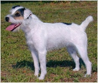 Jack Russell Terrier Dog Breed Facts And Traits Hill S Pet