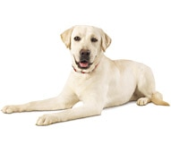 labrador retriever dog breed facts and traits hill s pet