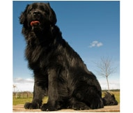 Newfoundland Dog Breed - Facts and Traits | Hill's Pet