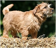 Norfolk Terrier Dog Breed - Facts and Traits | Hill's Pet