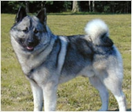 Norwegian Elkhound Dog Breed Facts