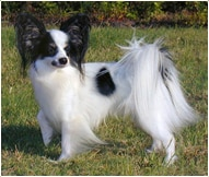 Papillion Dog Breed Facts And Personality Traits Hill