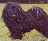 The Puli Dog Breed
