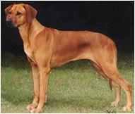 The Rhodesian Ridgeback Dog Breed