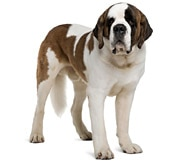 Saint Bernard Dog Breed Facts And