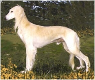 The Saluki Dog Breed