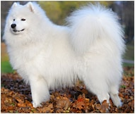 Samoyed For Sale >> Samoyed Dog Breed Facts And Personality Traits Hill S Pet