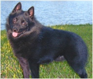 Schipperke Dog Breed Facts And