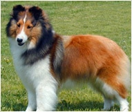 Shetland Sheepdog Breed Facts And