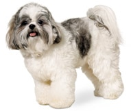Shih Tzu Dog Breed Facts And