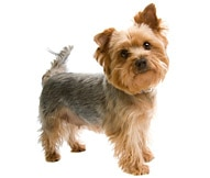 Silky Terrier Dog Breed Facts And
