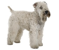Soft Coated Wheaten Terrier Dog Breed Facts Hill S Pet