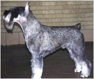 The Standard Schnauzer Dog Breed