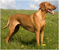 The Vizsla Dog Breed