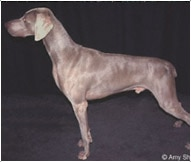 Weimaraner Dog Breed - Facts and Traits | Hill's Pet