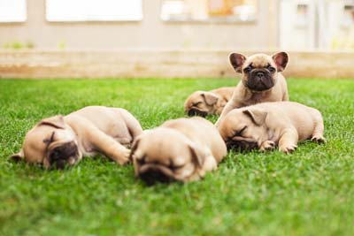 little sleeping French bulldog puppies lying on a beautiful green grass