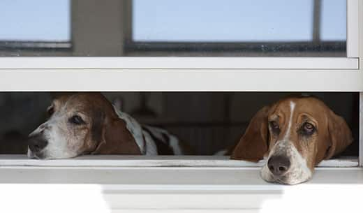 Basset hounds waiting with their heads on a window sill.