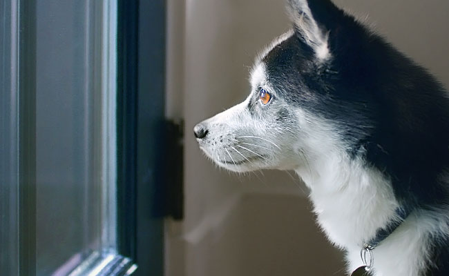 Alaskan Klee Kai side profile as they look out the front door.