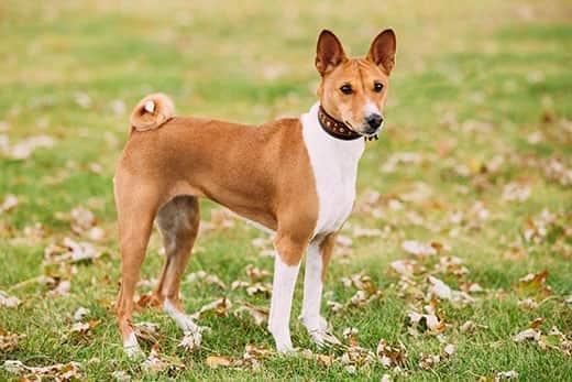 Basenji, the dog that does not bark
