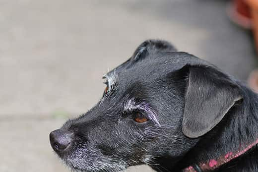 Close-up of black dog with gray muzzle and pink collar.