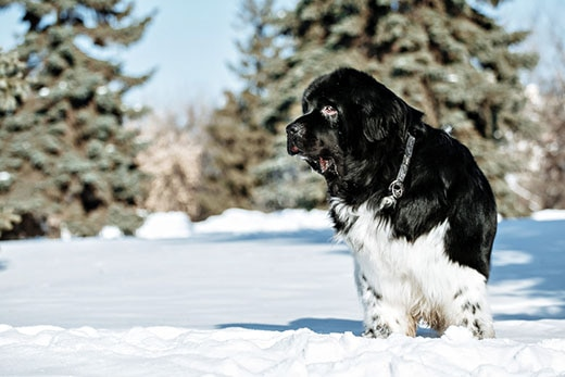 Black and white Newfoundland on the road with snowy trees.
