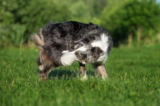 Border collie catches own tail outside in grass.