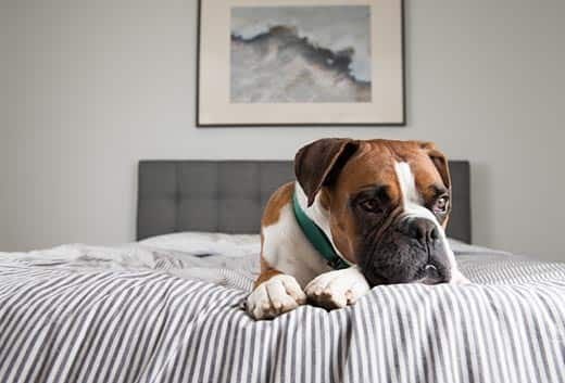 Brown boxer dog in green collar lays on human bed.