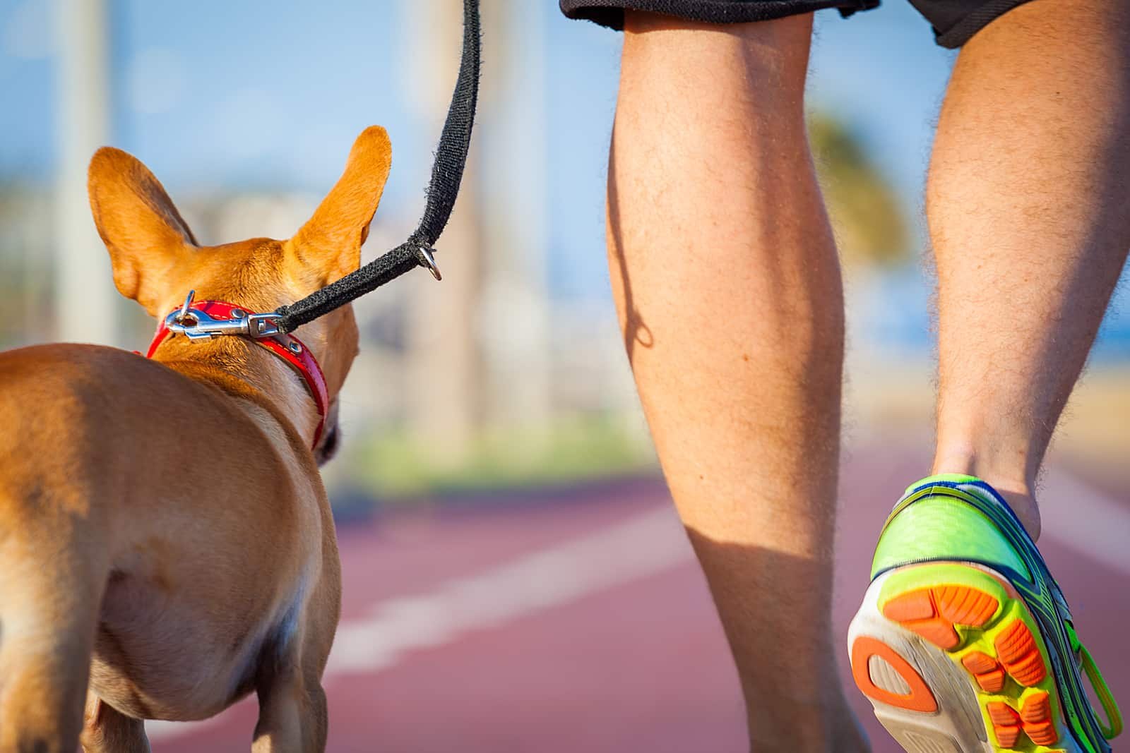 A chihuahua dog walking on the track with his owner