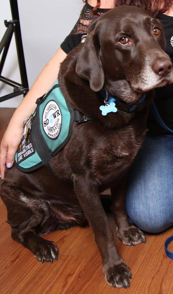 Brown dog wearing a diabetic alert dog vest.