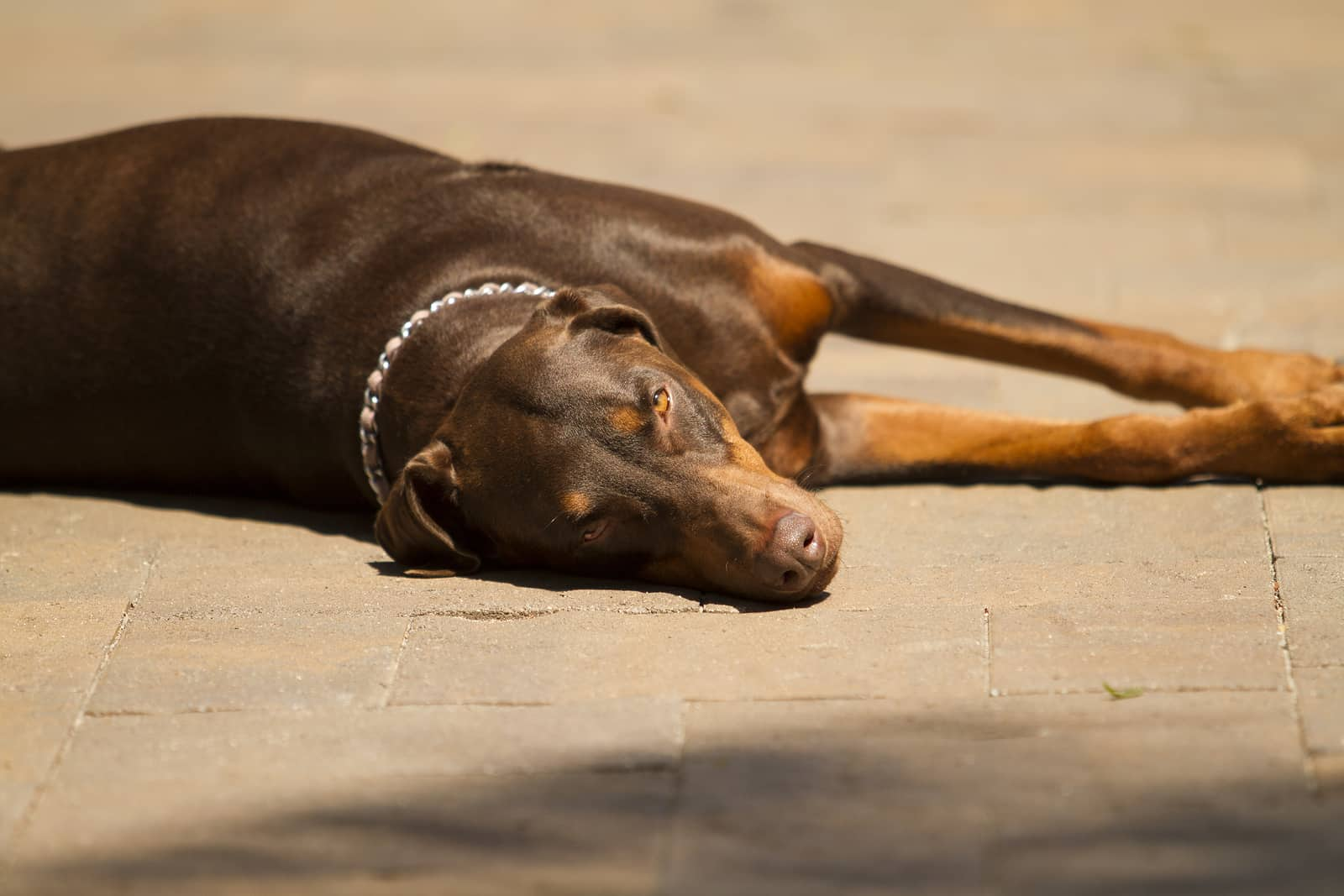 Doberman resting on stone pavement in the sun
