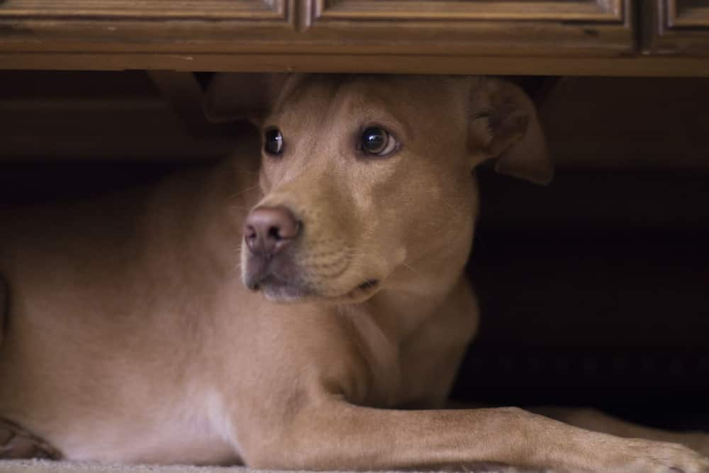 Dog hides under coffee table from fireworks outside.