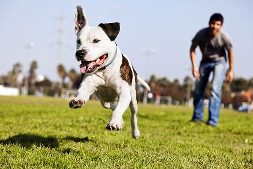A dog chases after a toy, running away from a man at the park.