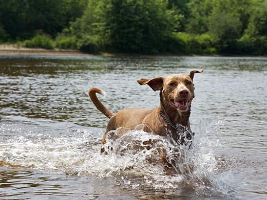 Brown dog running in the river