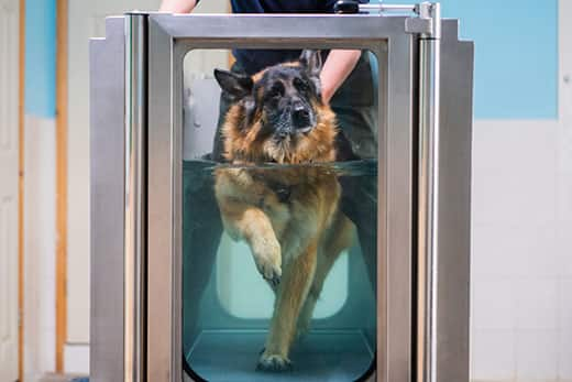 German Shepherd walking on a treadmill in a pool with human assistance.