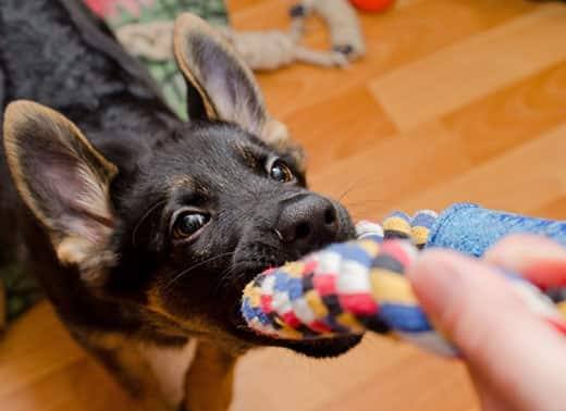 German shepherd puppy pulling on a rope toy