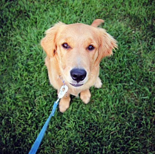 Golden retriever adolescent pup on blue leash looks up.