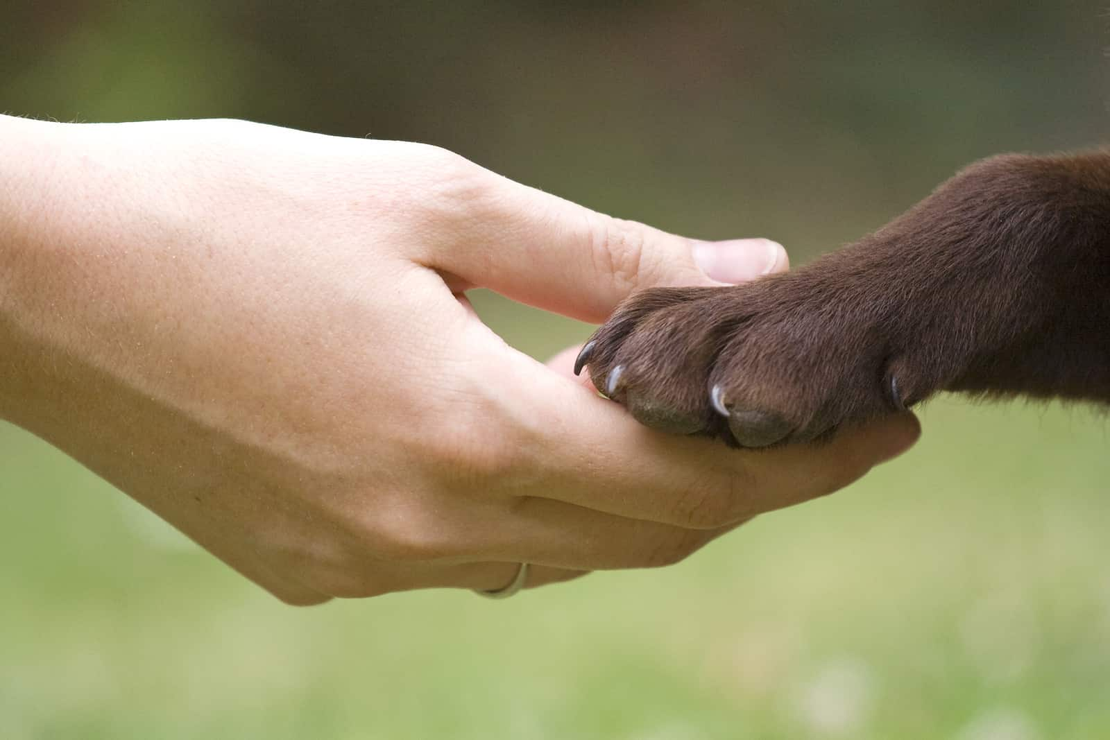 Hand holding chocolate lab paw.