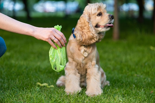 Female hold green plastic bag with dog poop near a cocker spaniel.