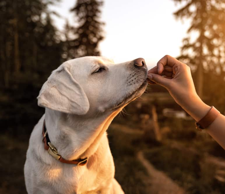 Labrador retriever puppy receives treat from human hand at sunset.