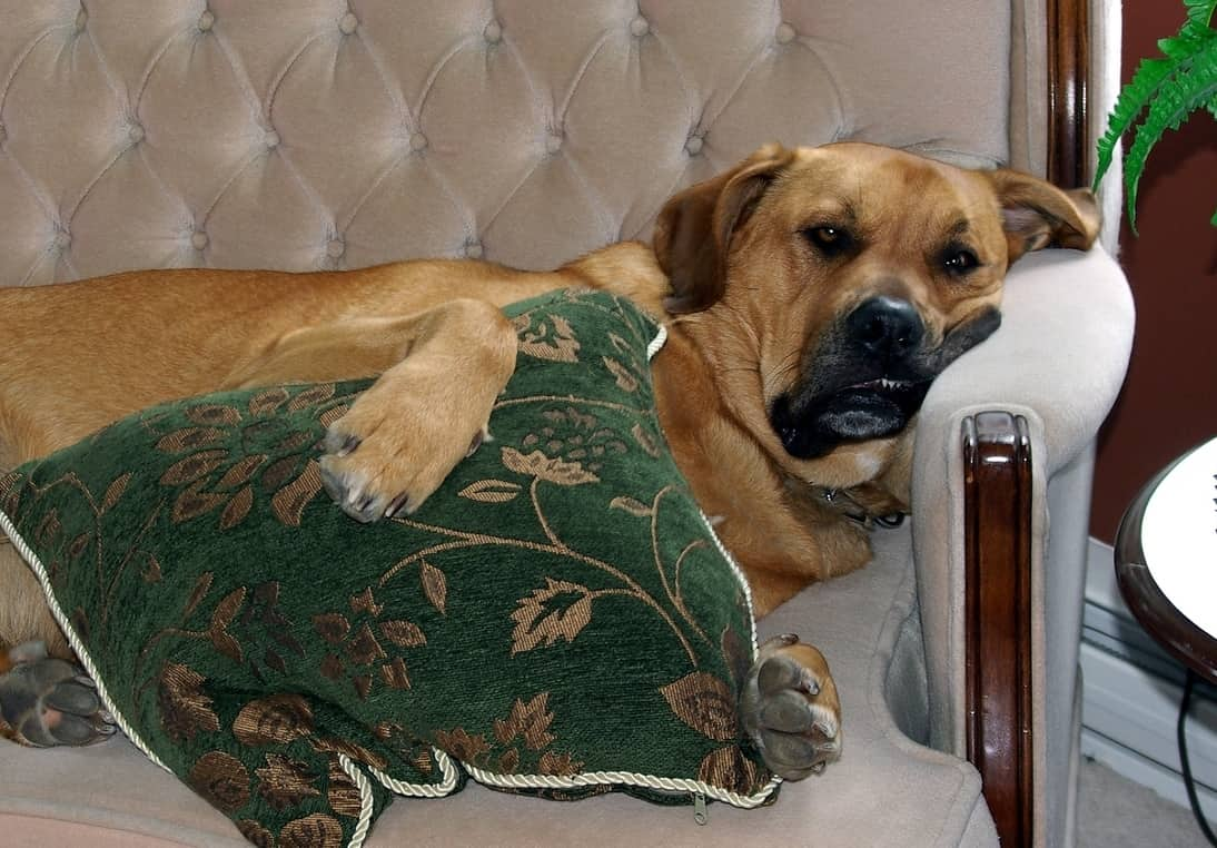 Large dog cuddles green pillow while laying on couch