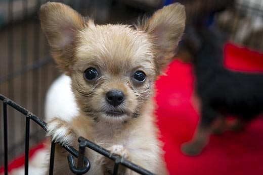 Long-haired chihuahua puppy standing up against a puppy pen on red carpet.
