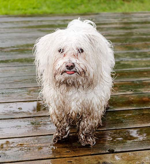 Maltese dog covered in mud waiting to get inside.