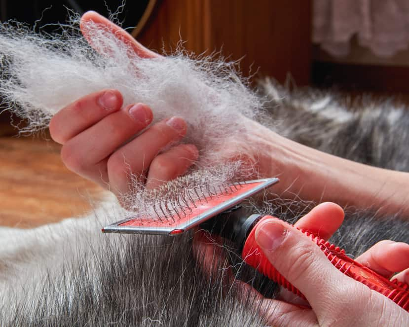 Person brushing a dog who is shedding in large clumps