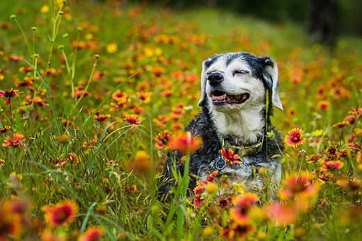 Senior dog sitting in wildflowers