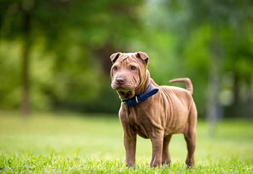 Young shar-pei puppy in blue collar in park.