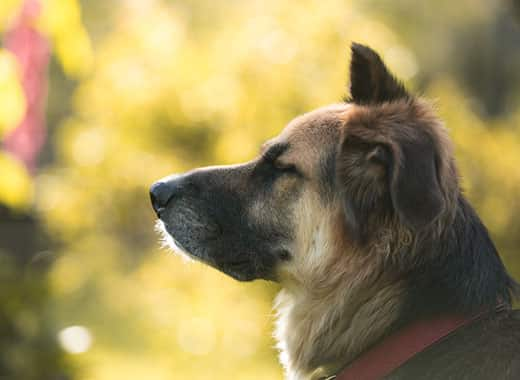 Side portrait of a shepherd mix with eye closed sitting outdoors.