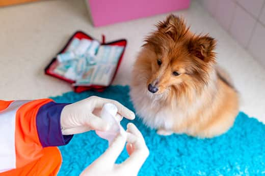 A emergency veterinarian treats has a first aid kit while Shetland sheepdog sits close by.
