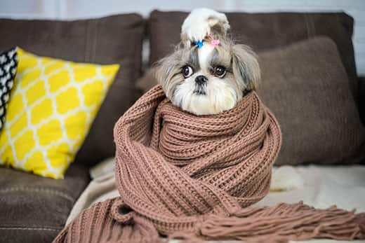 Shih Tzu wrapped up in a brown scarf on a couch.