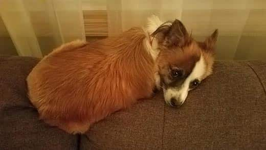 Small brown dog laying on the back of a couch.